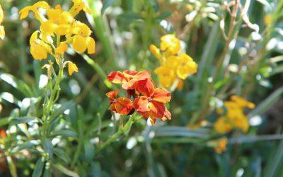 Conociendo flores: alhelí