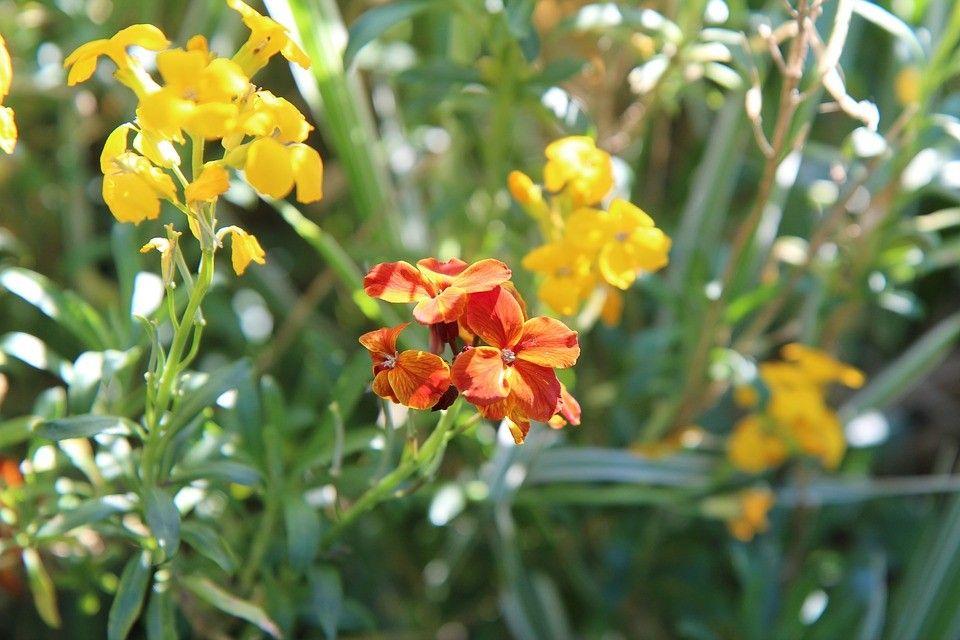 Flor alhelí