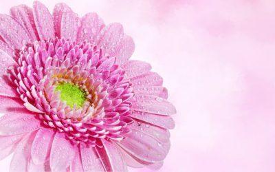 Conociendo flores: crisantemo