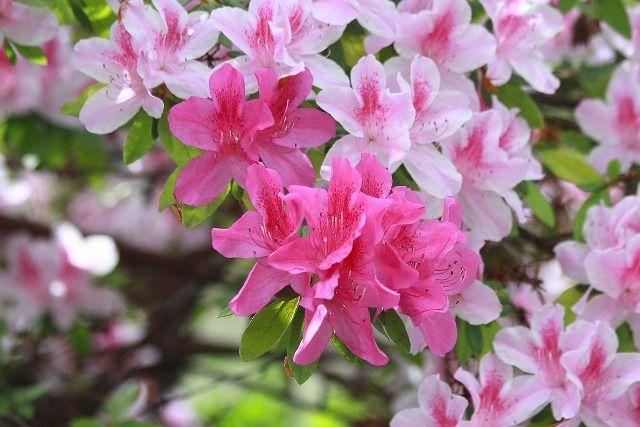 Conociendo flores: azalea