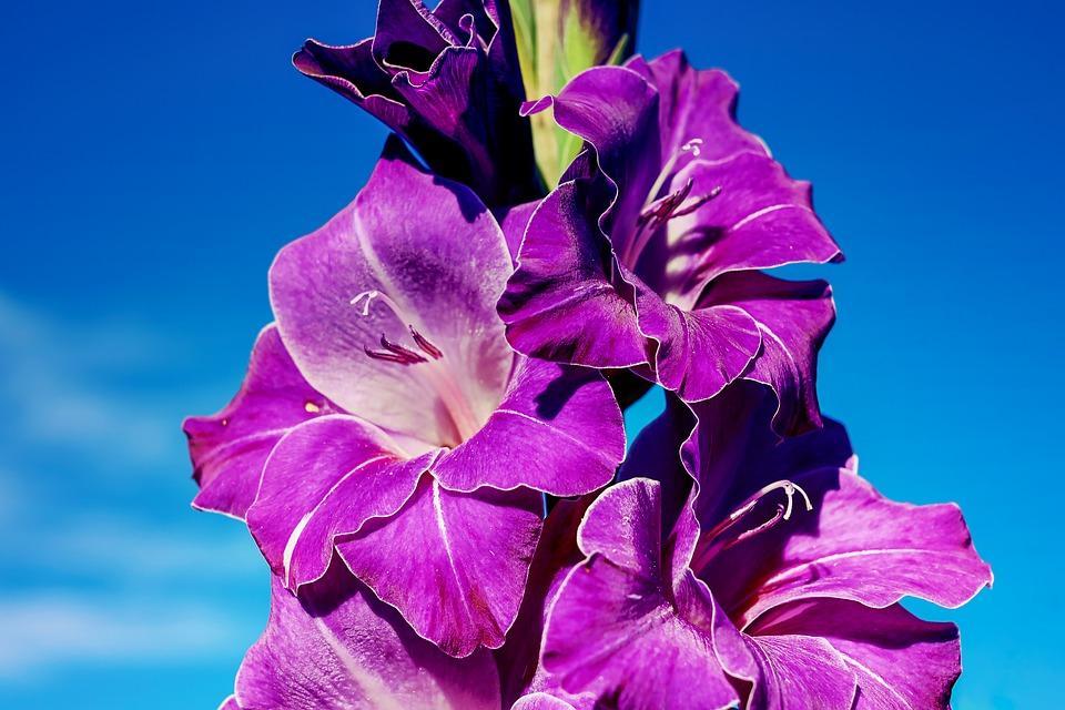 Conociendo flores: gladiolos