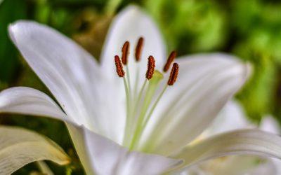 Conociendo flores: azucena