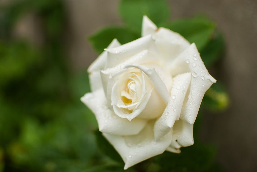 Ramos De Rosas Qué Significa Cada Color Flores Tanatoriocom